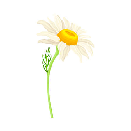 Common Daisy or Bellis Perennis on Stem with White Ray Florets and Yellow Disc Floret Vector Illustration Vettoriali