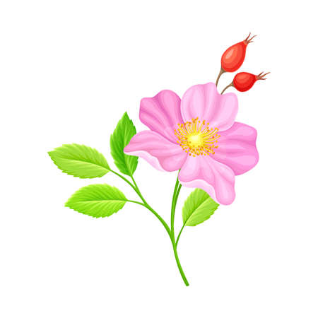 Tender Pink Flowers of Rosa Canina or Dog Rose Plant Specie with Mature Red Rose Hips Vector Illustration