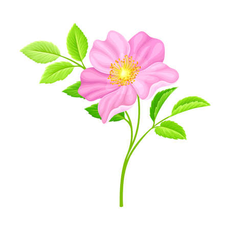 Dog Rose, Rosa Canina or Rosehip with Pale Pink Flower and Green Pinnate Leaves on Stem Vector Illustration Vector Illustration
