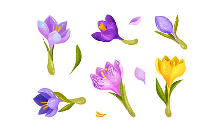 Crocus Flower on Stalk Isolated on White Background Vector Set