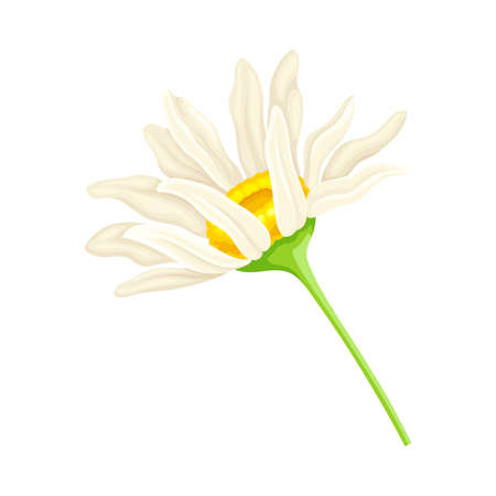 White Daisy Flower as Meadow Plant and Specie Vector Illustration