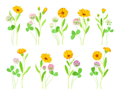 Calendula Plant with Orange Flower Head and Clover on Stem as Meadow Herb Vector Set