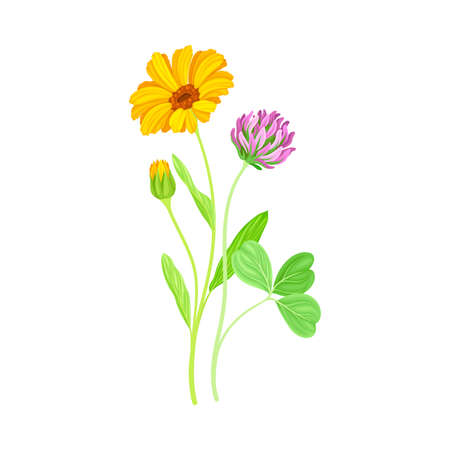 Orange Flower of Calendula Plant and Clover on Thin Stem as Meadow Herb Vector Illustration
