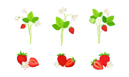 Garden Strawberry with Mature Red Fruit Vector Set Vetores