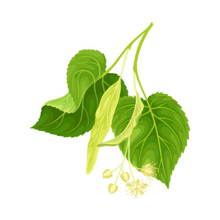 Linden twig with green leaves and flowers. Blooming Tilia Cordata tree branch vector illustration