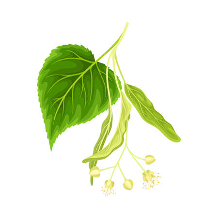 Linden twig with leaves and flowers. Blooming Tilia Cordata tree branch vector illustration