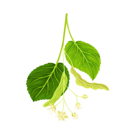Linden twig. Blooming Tilia Cordata tree branch vector illustration 矢量图像