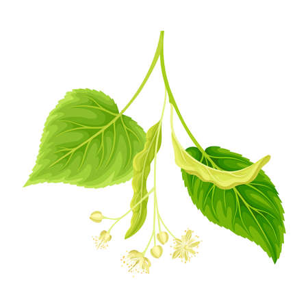 Green twig of linden with young leaves and flowers. Blooming Tilia Cordata tree vector illustration