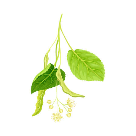 Twig of linden with green leaves and flowers. Blooming Tilia Cordata tree vector illustration