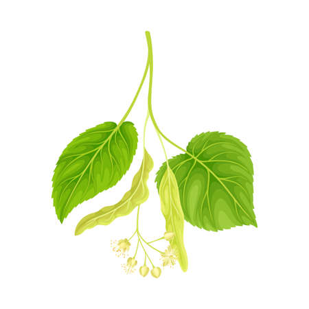Green twig of linden. Blooming Tilia Cordata tree vector illustration