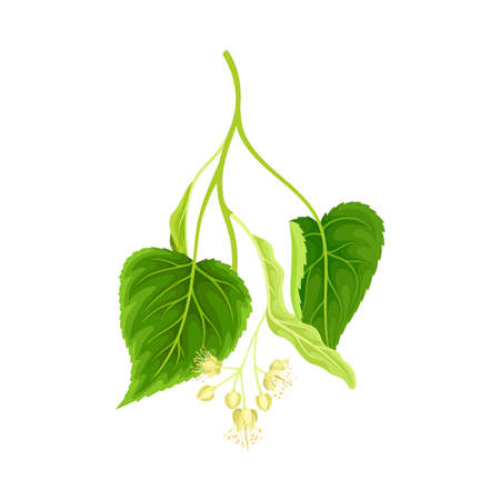 Green twig of linden with young leaves and flowers vector illustration