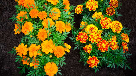 marigolds: Marigolds flowers Stock Photo
