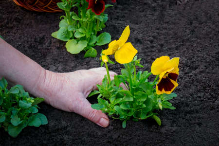Planting pansies flowers into flower bed in garden. Selective focus.