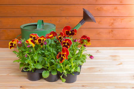 Seedlings of pansies in pot and watering can on wooden background. Selective focus on pansies. View with copy space.