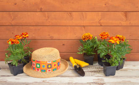 Seedlings marigold flowers, gardening tools and straw hat as a border on wooden background. View with copy space.