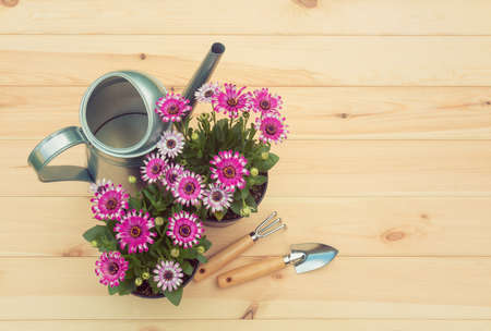 Seedlings of osteospermum (african daisy) flowers, watering can and gardening tools on wooden background. Top view, copy space.