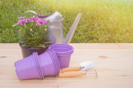 Outdoors purple plastic flower pots, seedlings of osteospermum (african daisy), watering can and gardening tools. View with copy space.