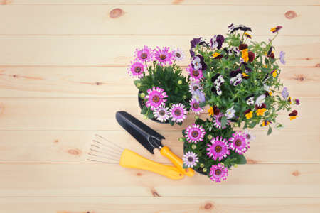 Seedlings of osteospermum (african daisy)and pansy flowers and gardening tools on wooden background. Top view, copy space. Stock Photo