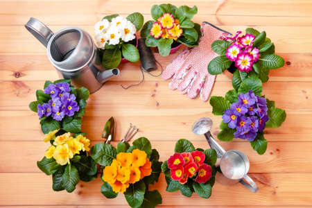 Frame made of colorful primula flowers, gardening tools, garden gloves and watering cans on wooden background. Top view, copy space.