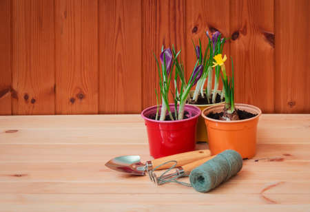 Gardening tools,  purple crocuses and daffodil on wooden table. Selective focus. Concept of spring gardening.