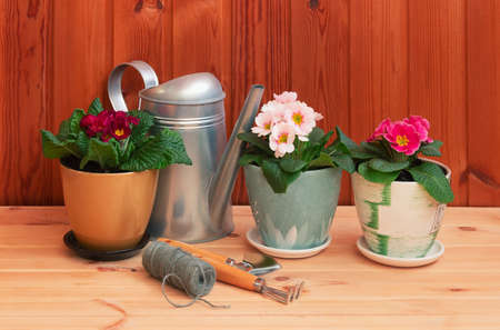 Gardening tools and colorful primula flowers on wooden table. Selective focus. Concept of spring gardening.