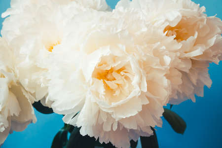 Beautiful white peony flowers on blue background.. Selective focus.