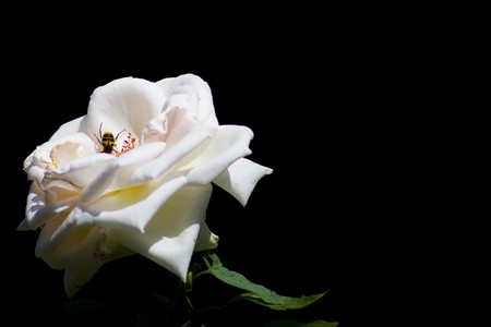 bug in the white rose