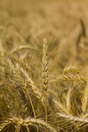 A piece of wheat or corn before the cornfield