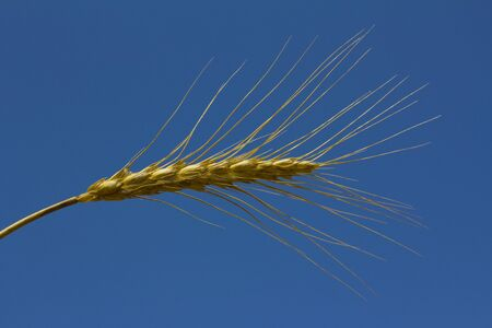 A piece of wheat or corn under the blue sky