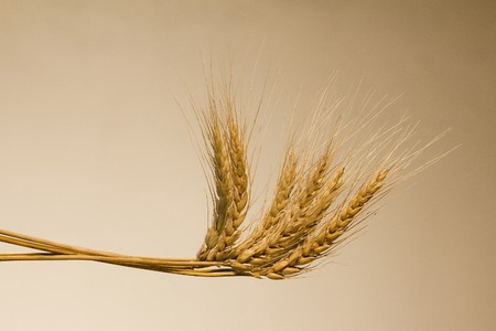Golden wheat ear after the harvest in corresponding background