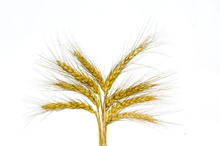 Golden wheat ears after the harvest in white background Stock Photo