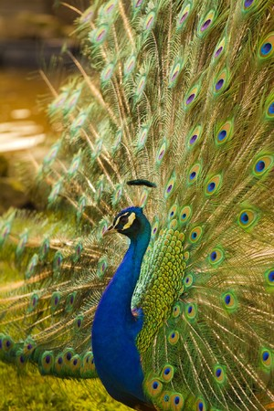 Peacock withs colorful feathers spreading wide out