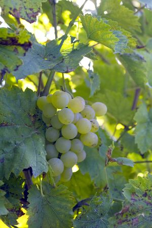 bunch of  white grapes before harvest, on the vine