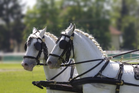 Profile of two beautiful, white horses in parade Stock Photo