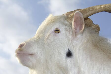 The head of a white goat before the sky