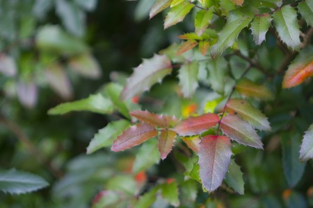 Leaves of the autumn bush, in different colors