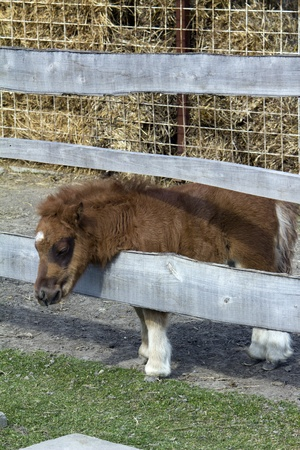 Brown baby pony with white legs in the farm photo