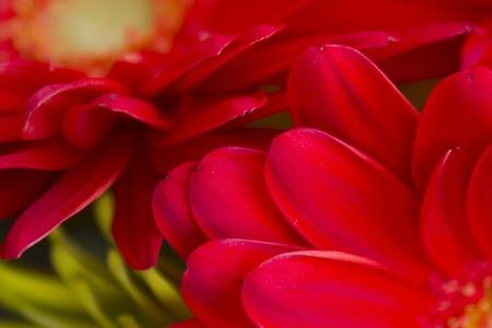 Red Gerbera flowers or daisy, low depth of field photo
