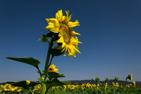 Yellow sunflowers on field with green leaves photo