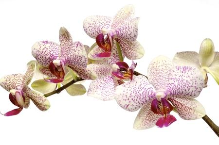 phalaenopsis: isolated orchid on white background