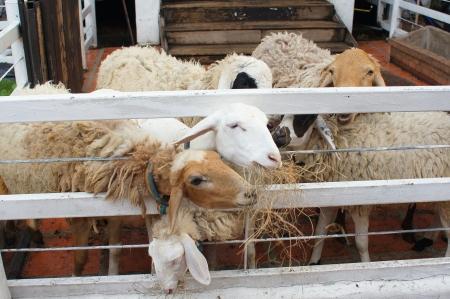nicely: nicely Sheep feeding in thai style farm