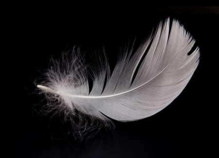 cisnes: plumas de Cisne blanco sobre el fondo negro