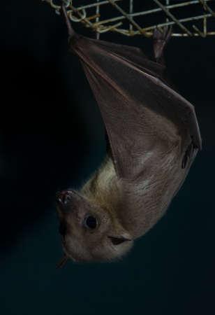 echolocation: the hanging night bat - chiropter animal