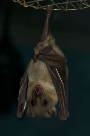 echolocation: the hanging night bat showing ones - chiropter animal
