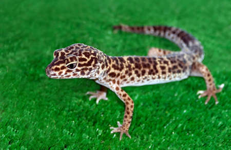 crepuscular: Eublepharis macularius - crepuscular lacerta of gecko family