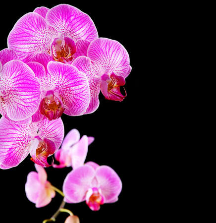 five petals: rosy beautiful orchid branch isolated on black background