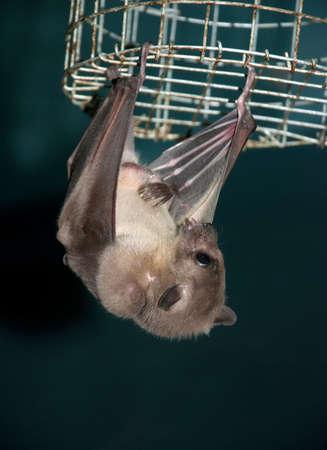 echolocation: hanging night bat Stock Photo