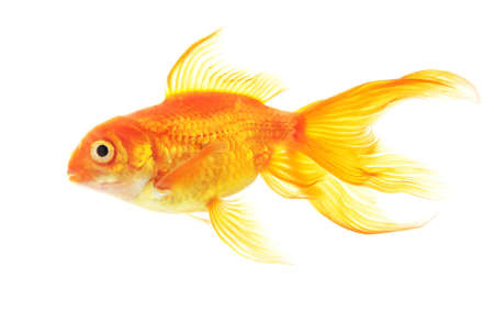 Gold fish isolated on white background Stock Photo - 18258790