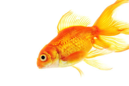brilliant   undersea: Gold fish isolated on white background