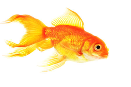 Gold fish isolated on white background Stock Photo - 18258940